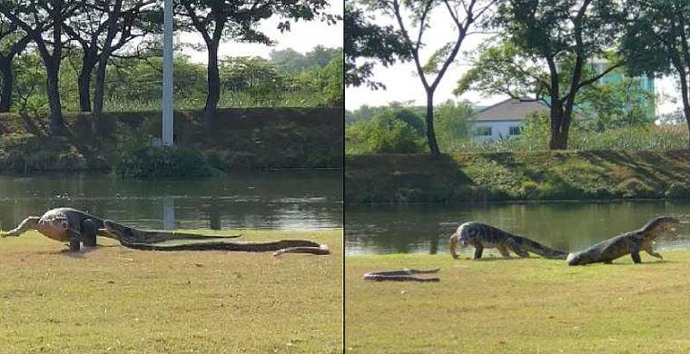 Питон подрался с варанами перед главным тайским университетом