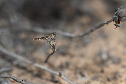 Новый вид мух-убийц обнаружили в Африке