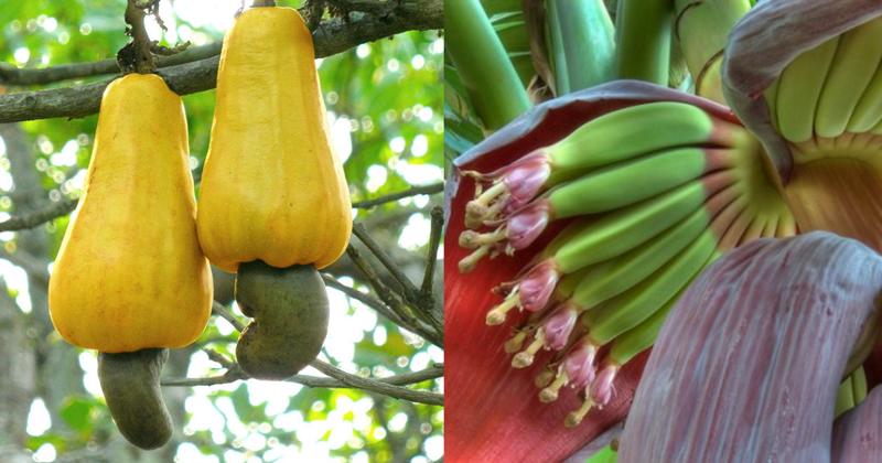 15 фото, которые покажут, откуда берется ваша еда горчица, еда, кешью, природа, удивительные факты
