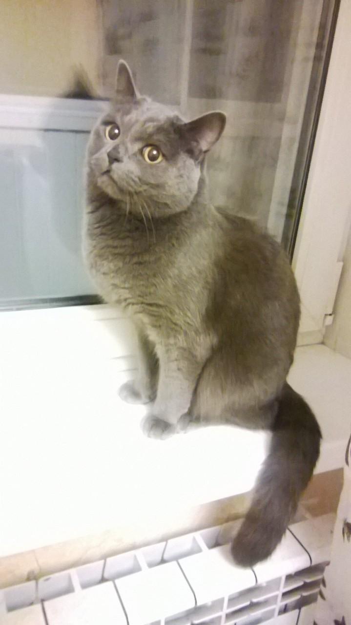 Русский голубой (кот) из сугроба срочно ищет дом!!!