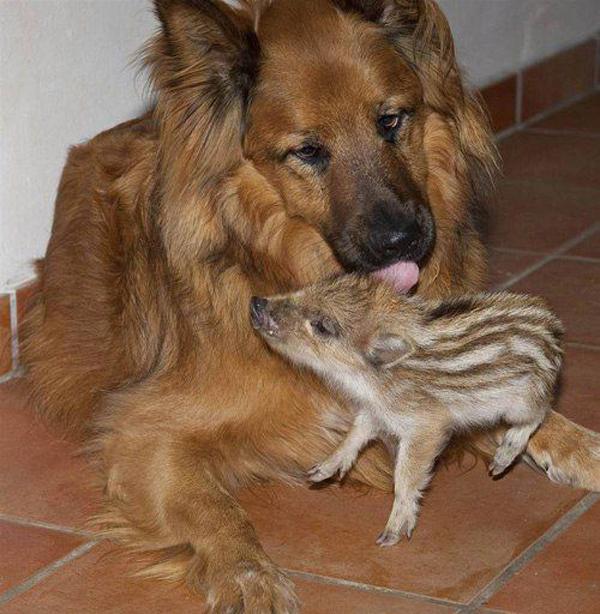 21 случай необычного усыновления в мире животных. Чужих детей не бывает!