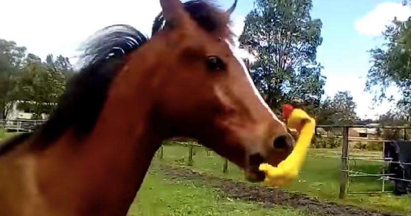 Что будет, если настоящий конь возьмет в рот резиновую курицу?
