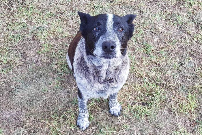 Слепой пёс породы «голубой хилер» спас девочку! Малышка заблудилась в горах дождливой ночью