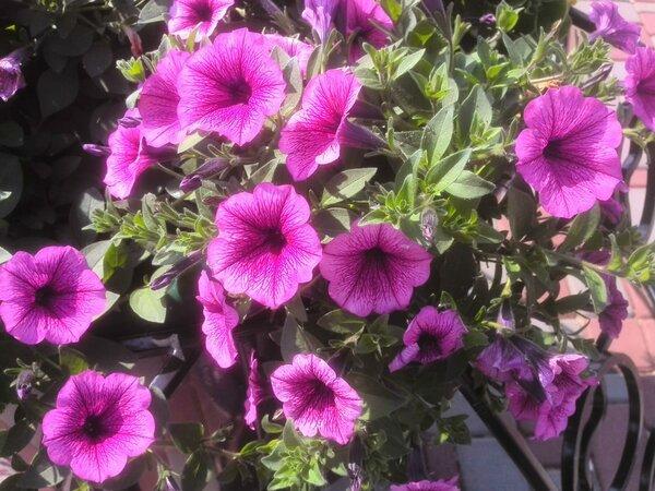 Обрезка петунии в августе. Получаем пышный куст с шикарным цветением