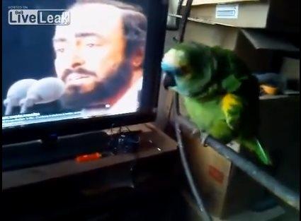 Попугай копирует исполнение …