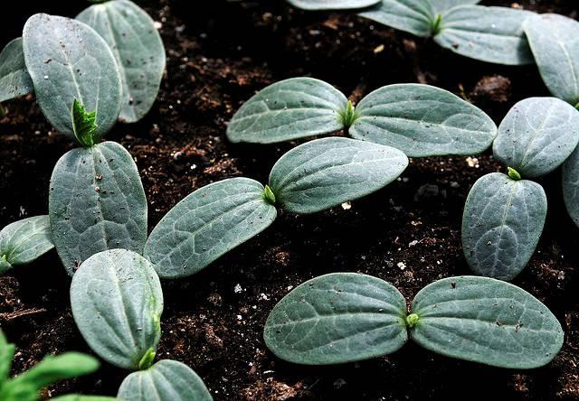 15 «нельзя» при выращивании рассады