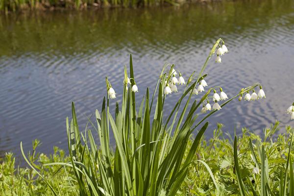 Белоцветник летний хорошо растет у водоемов