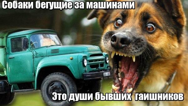 Моя собака бегает за  машинами