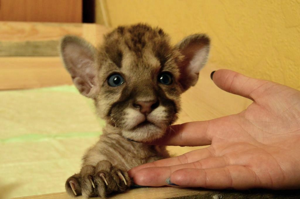 Котенок пумы, по кличке Пум Пумыч, живет в обычной квартире вместе с котами.