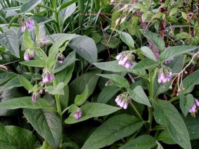 Полезные свойства растения живокость