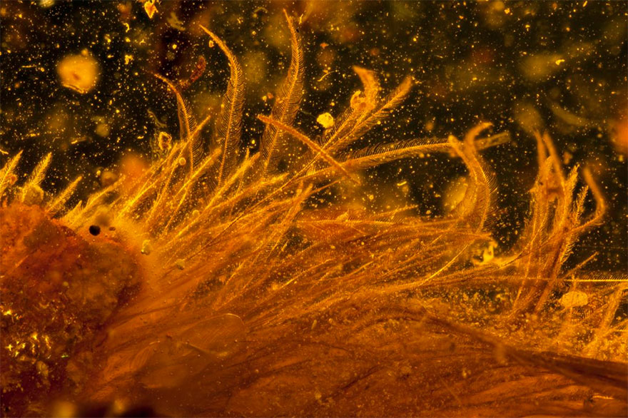 First Dinosaur Tail Found Preserved In Amber Is 99-Million-Years-Old And Covered In Feathers