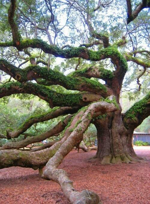 Дуб Ангела — одно из самых старых деревьев в мире-8 фото-
