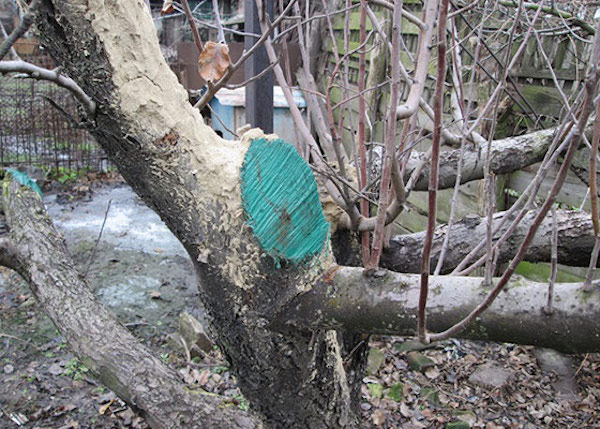 Замазываем раны и спилы у деревьев правильно
