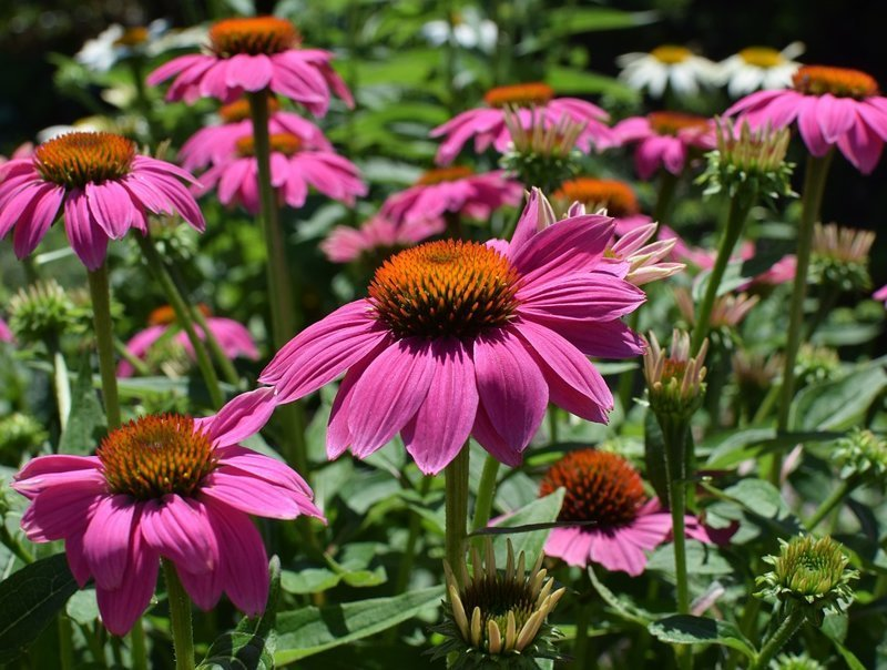 Эхинацея - съедобные молодые листья и лепестки цветов выживание, интересное, растения, съедобные
