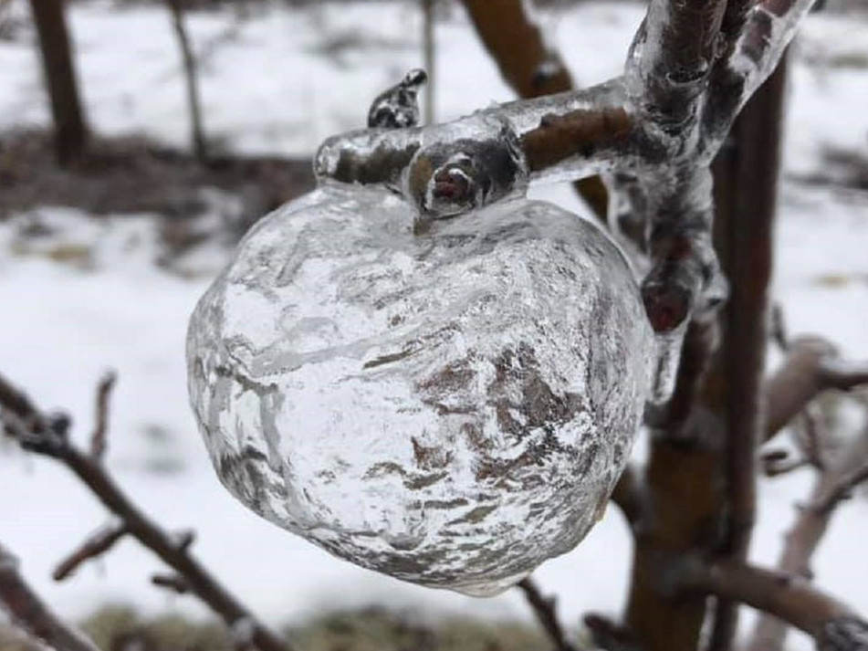 Призрачные яблоки изо льда: удивительное явление природы