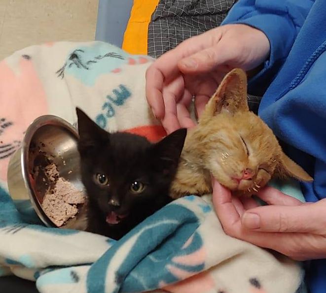 Котёнок прикрыл собой брата в разгар лесного пожара и продолжал делать это даже после спасения