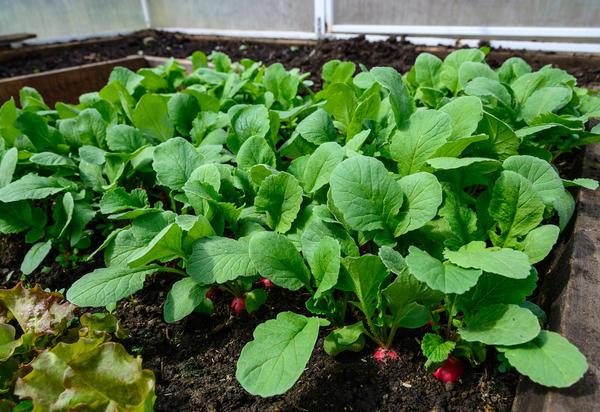 Первый весенний овощ: выращивание редиса в теплице на корнеплод и на ботву