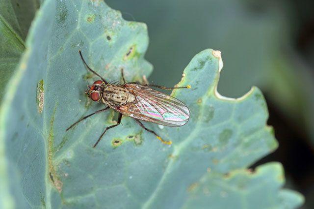 Чесноком и табаком… 10 вариантов борьбы с капустной мухой