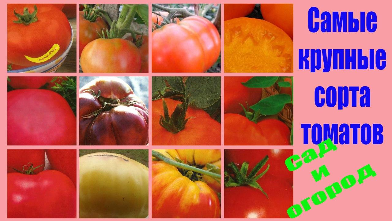 В этом видео я хочу поделиться информацией с Вами о самых крупных томатах. Подробнее смотрите видео здесь