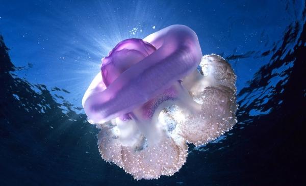 30 фото медуз — самых невероятных морских обитателей