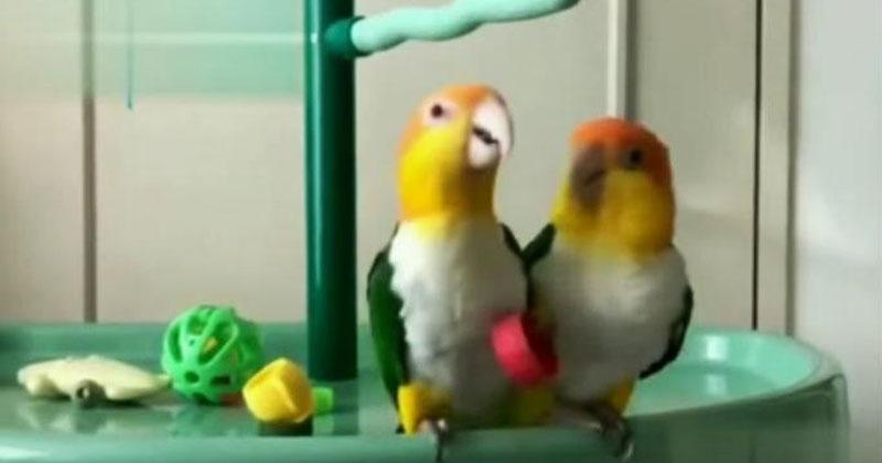 Наглый попугай «отжал» крышечку у своего товарища. Реакция этих пернатых рассмешила всю Сеть!