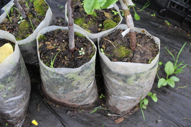 Выращивание саженцев с закрытой корневой системой 82