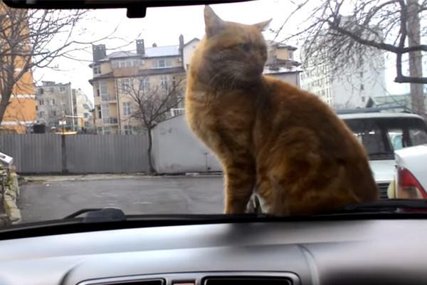 Видео кота на капоте