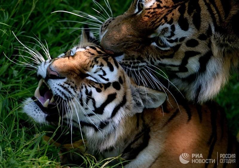 Вы все знаете об Амурских тиграх? амурский тигр, зверь, природа, тигр, хищник