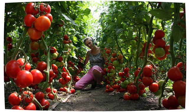 Экономный способ выращивания рассады томатов. Из одного семечка до 10 растений