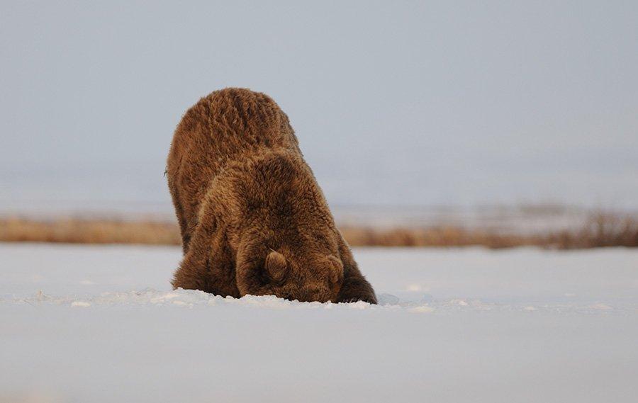 Как камчатские медведи просыпаются после зимней спячки