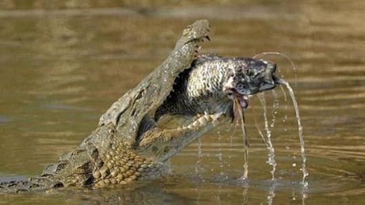 В ЮАР три молодых человека погибли при попытке изнасиловать крокодилицу