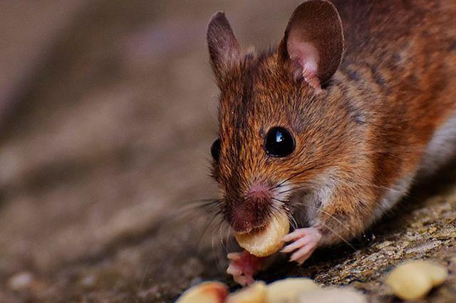 «Угощение» для грызуна. Эффективный способ изюавиться от мышей на даче