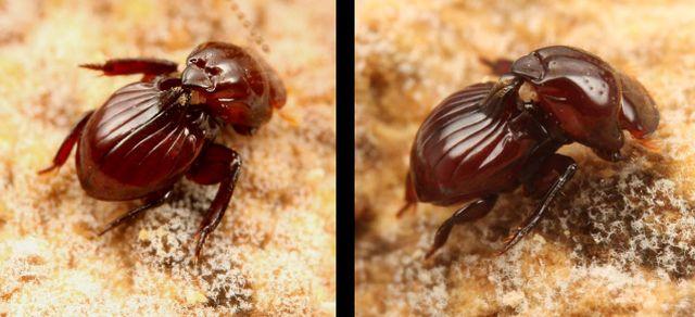 Eocorythoderus incredibilis - жук, который разленился ходить и теперь его носят термиты