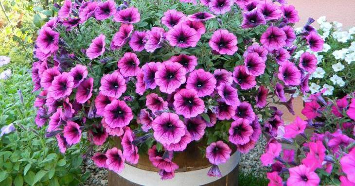 Правильная прищипка петуньи для обильного цветения