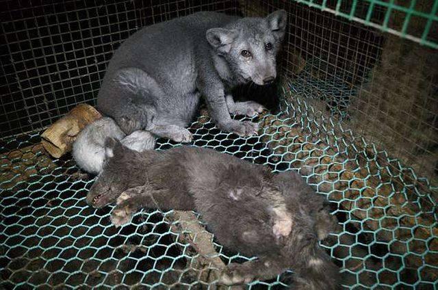 Заплаканные лисы Финляндии: Так живодеры добывают мех