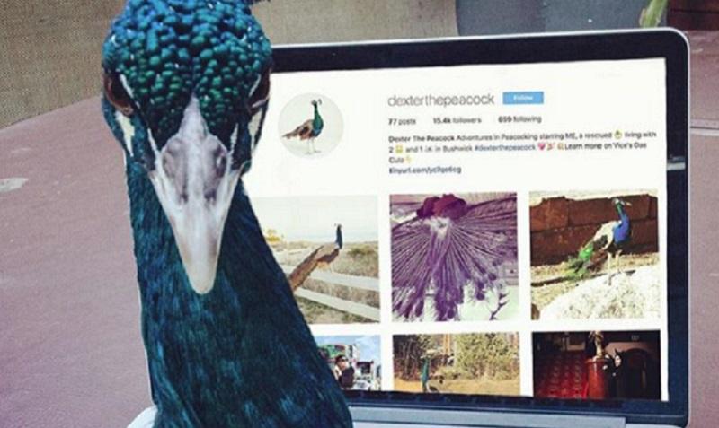 Художница из Нью-Йорка завела домашнего павлина в качестве  «моральной поддержки», и у него есть свой инстаграм