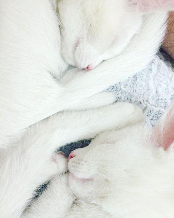 Кошки-близнецы всегда спят в одинаковых позах.