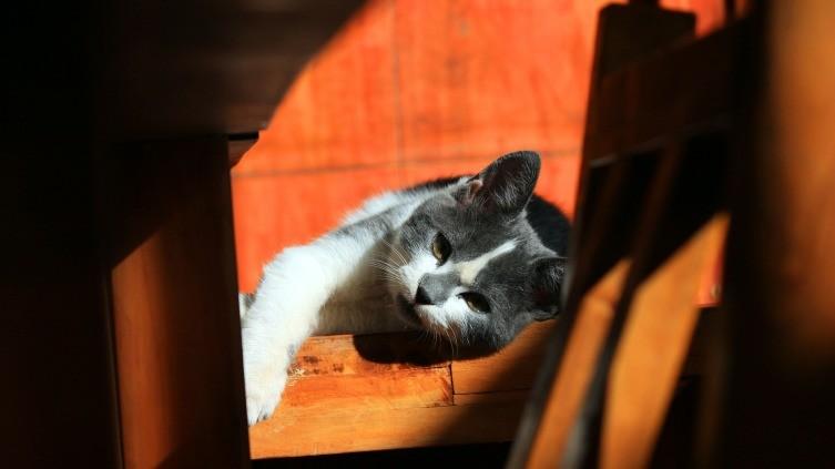 Кошачья «совесть».