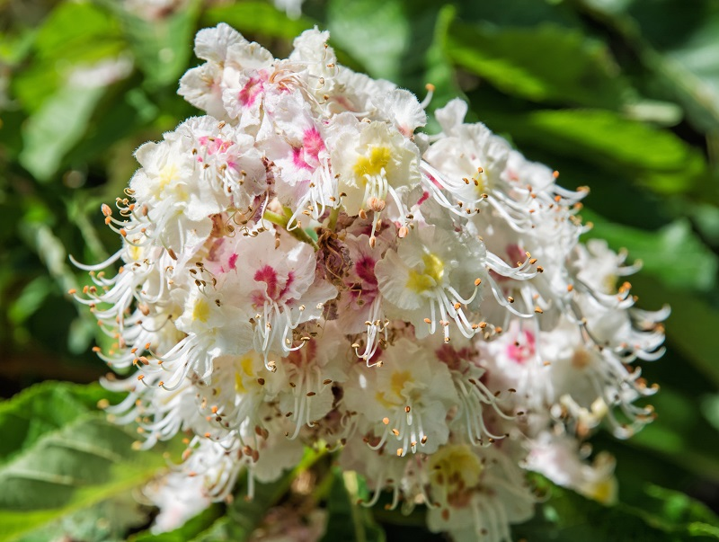 цветы конского каштана применение