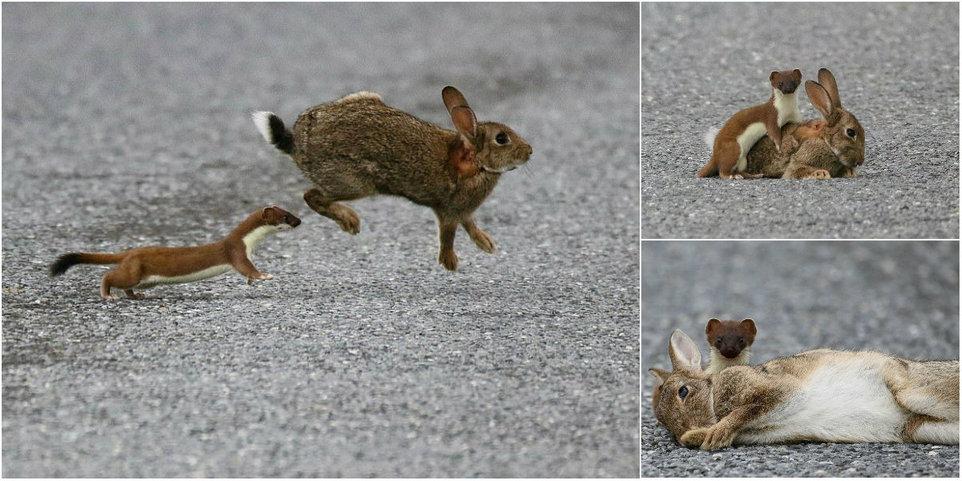 Кровожадный горностай завалил кролика, большего его в четыре раза
