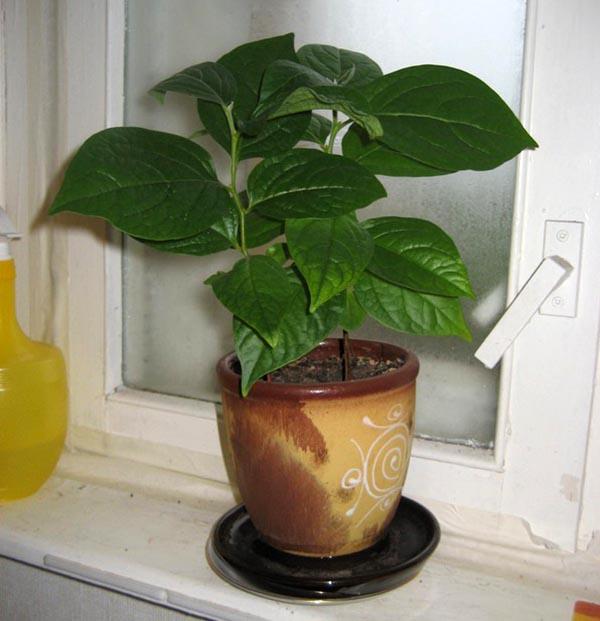 Выращивание хурма в домашних условиях