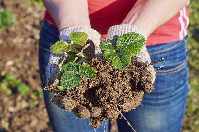 как правильно посадить клубнику весной в открытый грунт