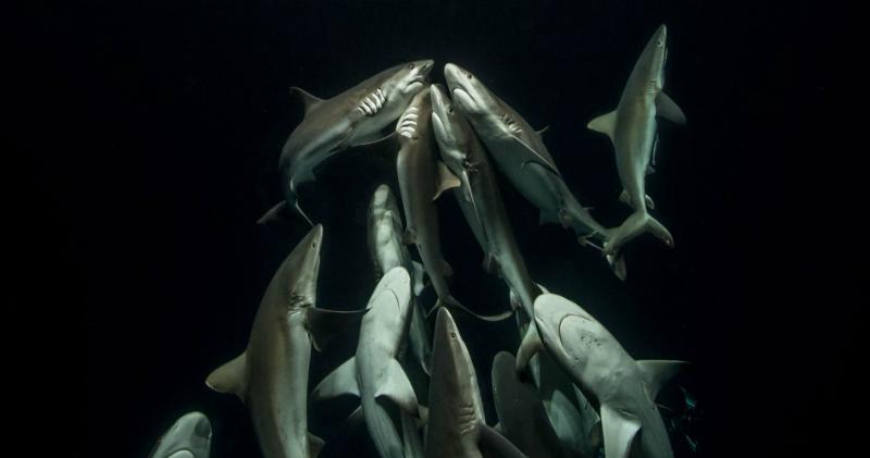 «Природа не знает пощады, но в ней нет ненависти»: фотограф 4 года снимал, как охотится стая акул