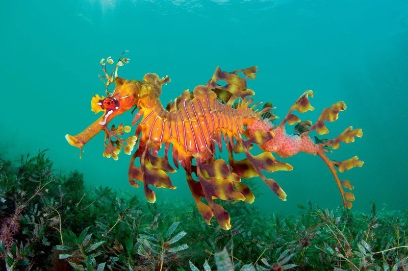 Морские коньки животные, интересное, кораллы, красиво, красочно, подводное царство, природа, ярко