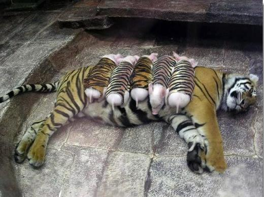 Удивительный эксперимент в одном из частных зоопарков Таиланда