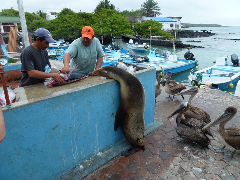 Видео: Пернатые, хвостатые и усатые попрошайки на рыбном рынке Галапагосских островов