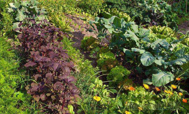 Севооборот на грядке: сажаем овощные культуры по-умному