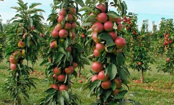 6 важных работ для колонновидных яблонь