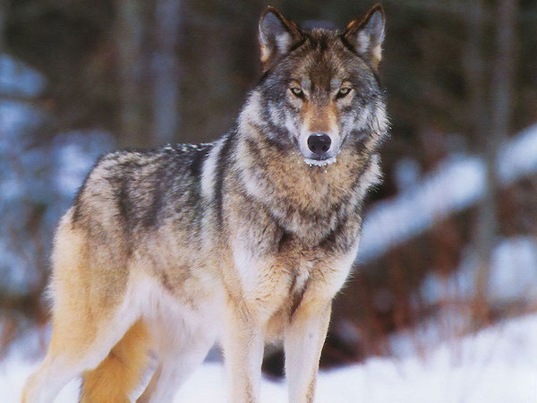 Волк может притворяться мертвым