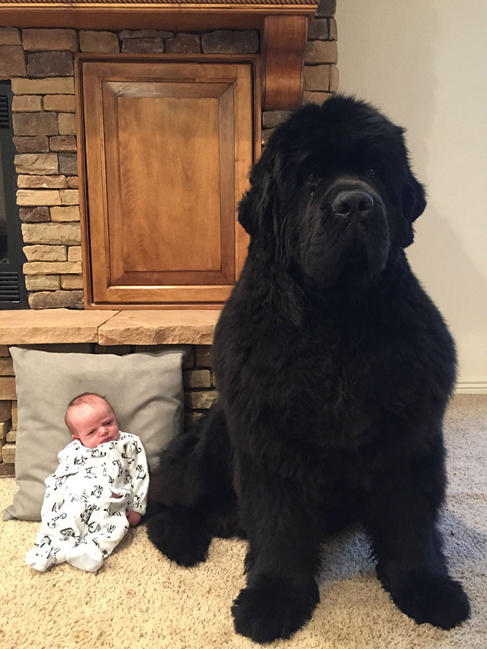 People Are Posting Hilarious Photos Of Their Newfoundlands, And It's Crazy How Massive They Are